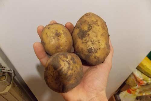 Особенности картофеля сорта Санте