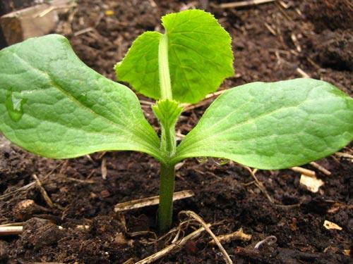 Продуктивное выращивание кабачков в теплице