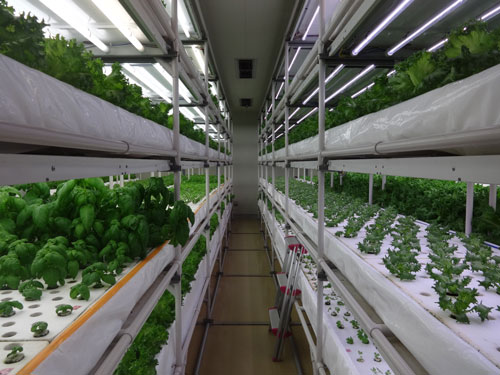 Простое и эффективное выращивание петрушки в теплице