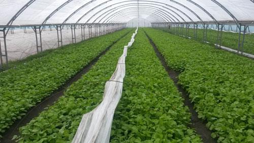 Секреты выращивания петрушки в теплице