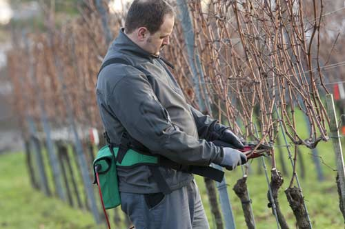Проведение обрезки винограда