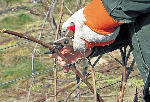 Проведение обрезки винограда осенью