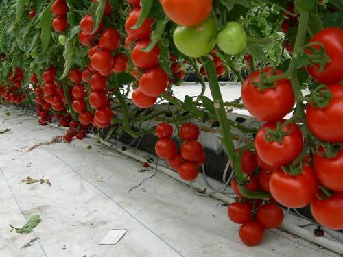 Ранние сорта томатов для выращивания в теплице