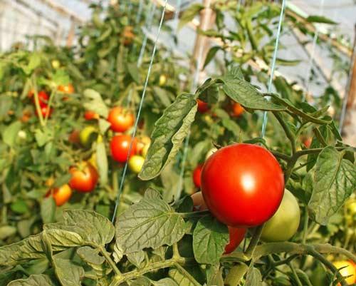 Ранние сорта томатов для выращивания на защищенном грунте