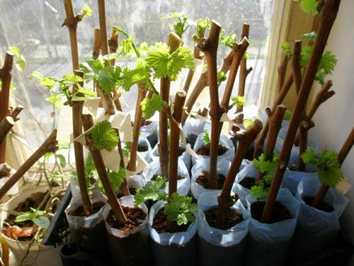 Технология размножения винограда черенками