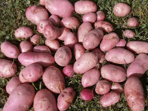 Картофель сорта Розара - выращиваем правильно