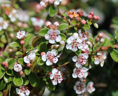Садовый кизильник  - выращивание