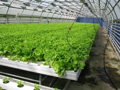 Выращивание салата, укропа и петрушки в теплице