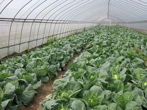 Самостоятельное выращивание капусты в теплице