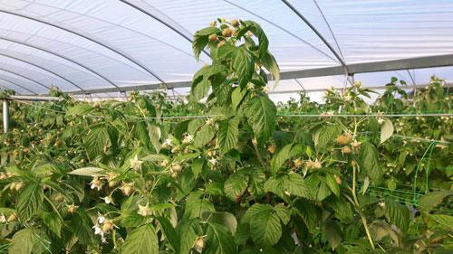 Самостоятельное выращивание малины в теплице