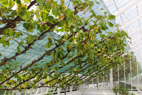Самостоятельное выращивание винограда