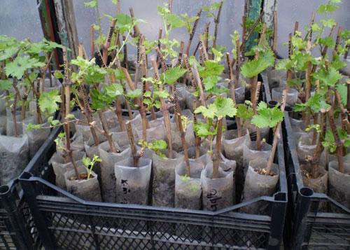 Выращивание винограда на своем участке
