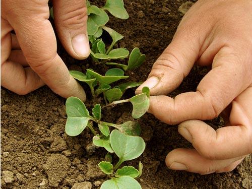Секреты посадки редиса под зиму в открытый грунт