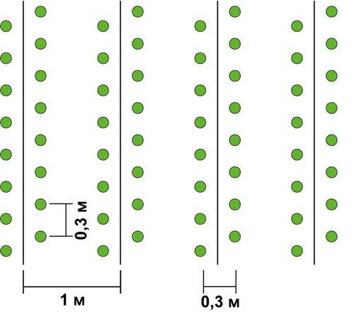 Схема посадки перца на грядках