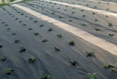 Схемы посадки клубники