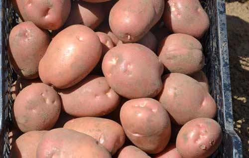 Ранний сорт картофеля Лилея - его особенности