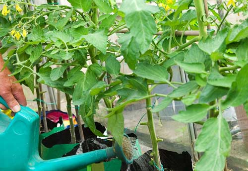 Советы полива томатов