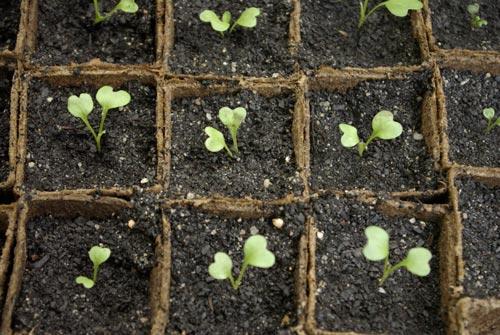 Когда нужно садить капусту на рассаду