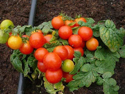 Свойства детерминантного сорта томатов