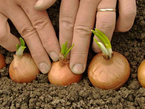 Технология посева на зиму лука севка - основные секреты