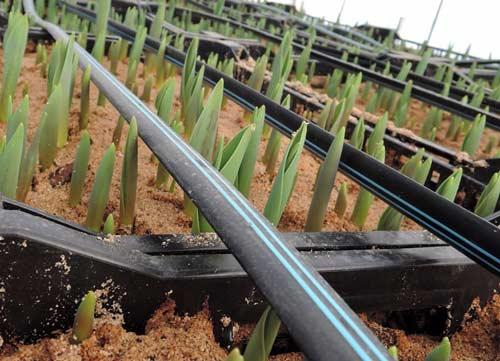 Технология выращивания тюльпанов в теплице