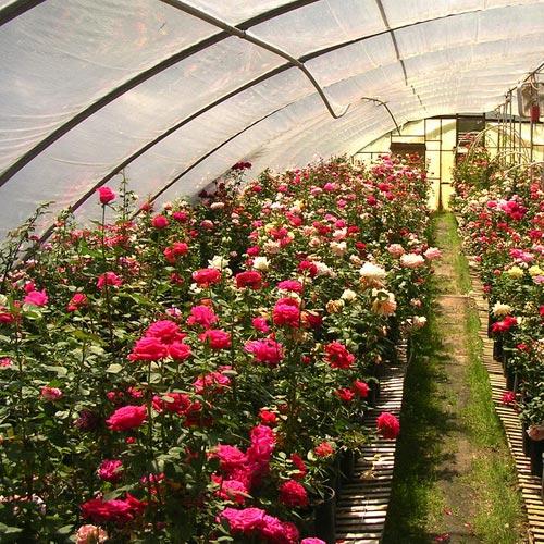 Тонкости посадки роз на участке и в теплице