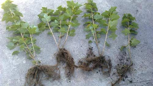 Тонкости посадки смородины осенью - как правильно