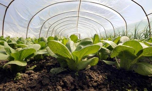 Тонкости выращивания ранней капусты на защищенном грунте