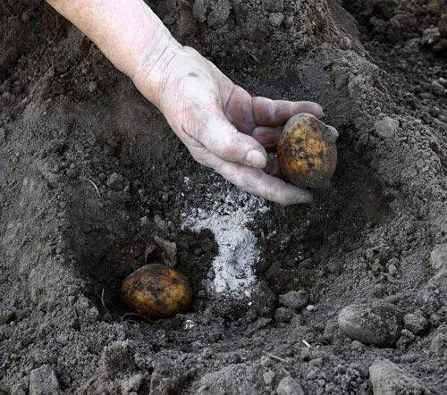 Удобрения при посадке картошки