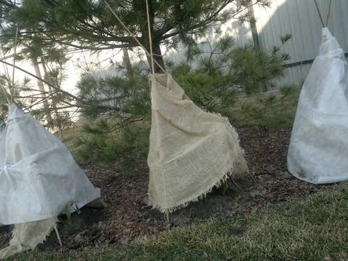 Как укрыть рододендрон на зиму на участке