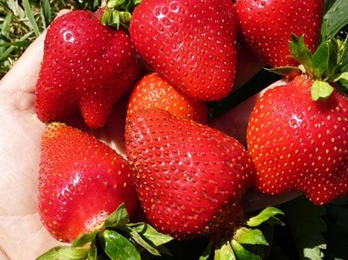 Важные особенности выращивания клубники Альба