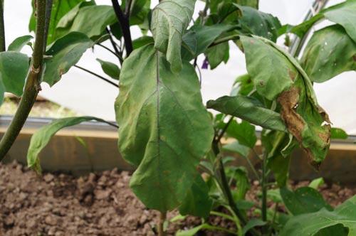 Почему в теплице вянут листья у баклажанов