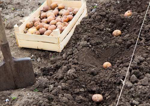 Вторая посадка картофеля