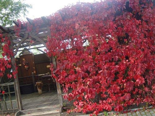 Выращивание девичьего винограда дома