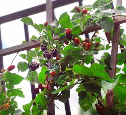Выращивание ежевики на участке