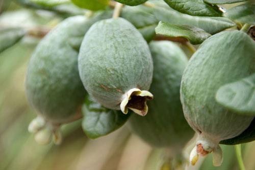 Выращивание экзотических плодов
