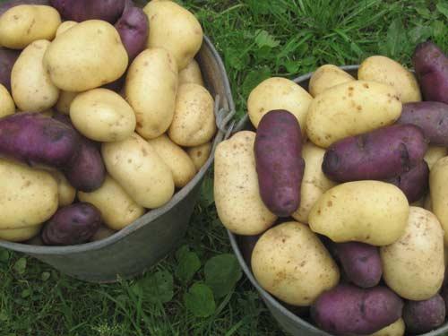 Выращивание картофеля Пикассо - как правильно