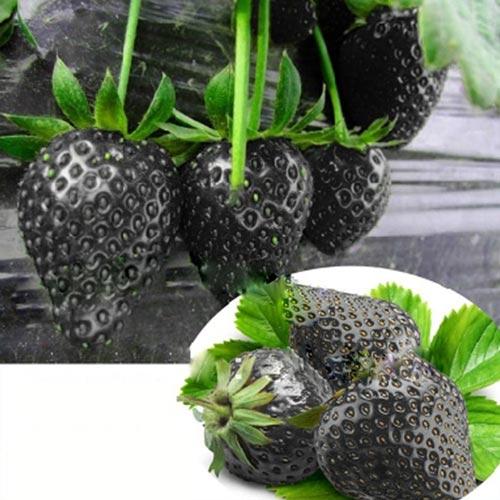 Необычная клубники чёрного цвета