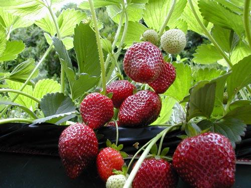 Особенная клубника чёрного цвета - выращивание ягоды