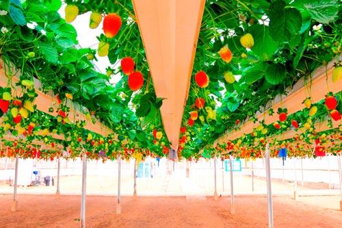 Как выращивать клубнику на гидропонике