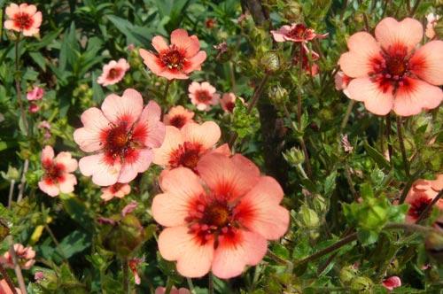 Правильное выращивание лапчатки кустарниковой