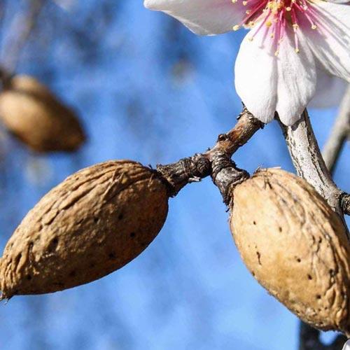 Выращивание миндаля с высокой урожайностью