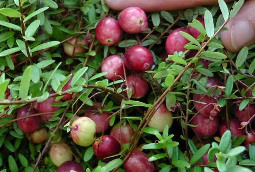 Выращивание садовой клюквы на участке