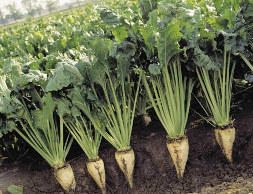 Особенности выращивания сахарной свёклы