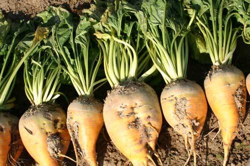 Особенности выращивания сахарной свёклы - подготовка почвы