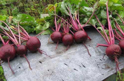 Выращивание свёклы - что нужно знать