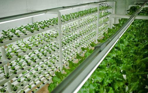 Выращивание зеленых овощных культур