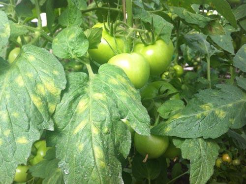 Лечение заболеваний помидоров